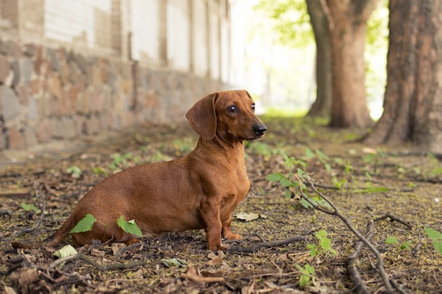 Dog breed dachshund sits on the ground near the house