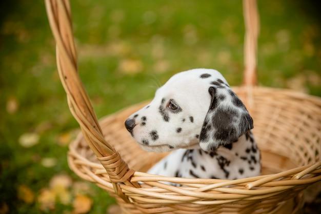 Dog breed dalmatian on a walk beautiful portrait.dalmatian puppy in a meadow in fall season. dalmatian puppy in a basket.copy space