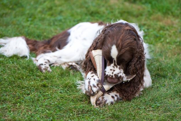 Собака породы английский спрингер-спаниель лежит на траве и играет с обувью хозяина. собака грызет обувь