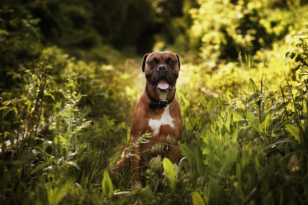 Dog breed german boxer in the garden