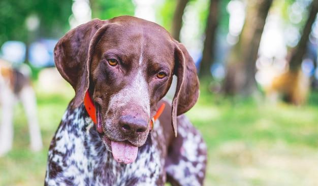 素敵な視線で犬の品種ジャーマンショートヘアードポインター、犬の肖像画のクローズアップ