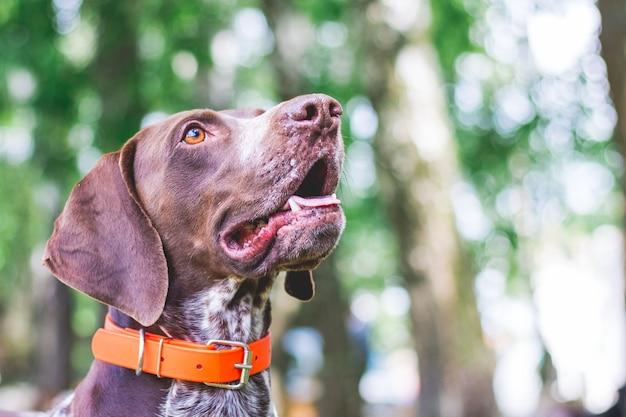 Собака породы немецкий короткошерстный пойнтер с прекрасным взглядом, портрет собаки крупным планом