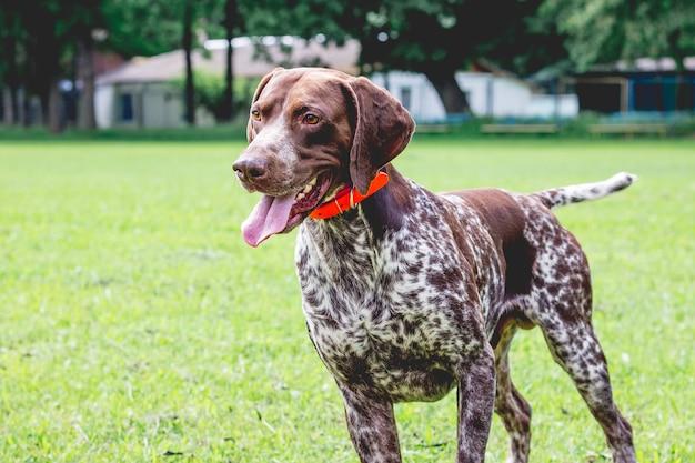 芝生の芝生の上に素敵な視線を持った犬種のジャーマンショートヘアードポインターが立っています_