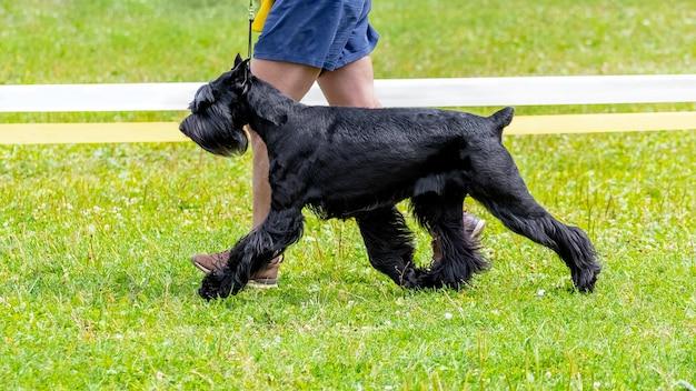 Собака породы ризеншнауцер со своим хозяином в парке во время прогулки, выгуливает собак