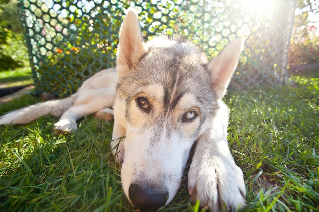 Dog breed husky, lying on the grass and looking at the camera.