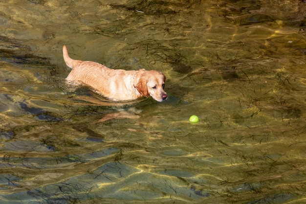 Dog of breed labrador retriever. foreground. short and light hair. playing in the water (sea) with ball on sunny day.