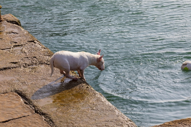 Dog of breed miniature bull terrier (sequence several photos). short hair and white (clear). jumping to play in the water (sea) with ball (ball) on sunny day.