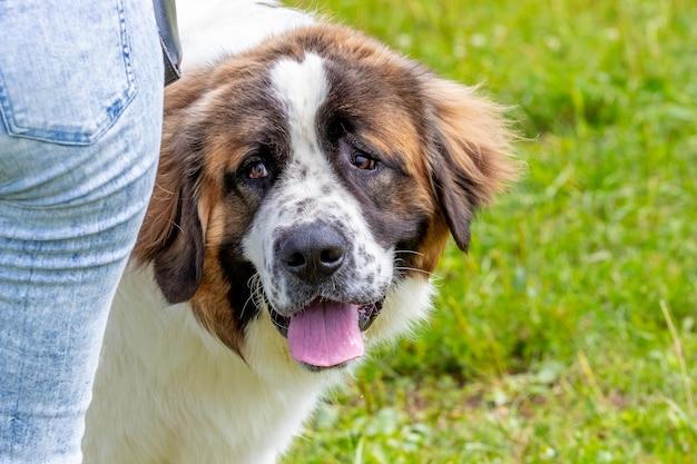 彼の主人の近くに威嚇するような表情の犬種モスクワ番犬、犬の肖像画をクローズアップ
