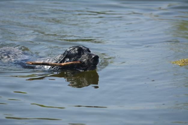 개 품종 러시아 발 바리 막대기로 수영