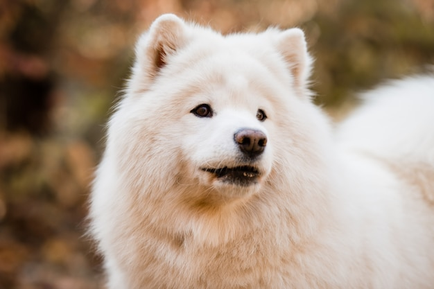 Dog breed samoyed in a nature landscape
