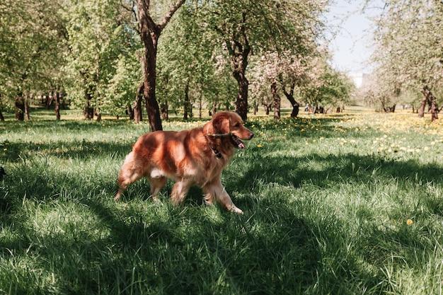 Сеттер породы собак играет с палкой. любимый питомец