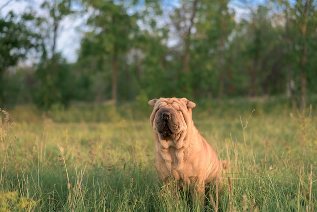 Dog breed shar pei sitting in the box, closed his eyes from the sun and turned the ears. funny animal . close up