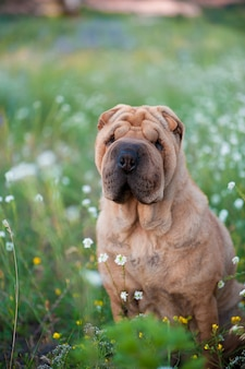 Dog breed sharpei on the flowered field