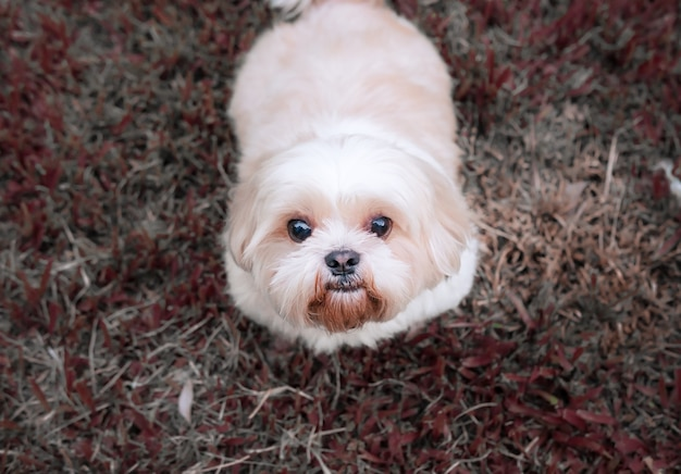 Dog breed shih-tzu brown fur that is in the garden of grass.