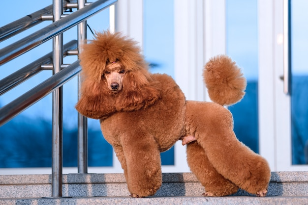 Dog breed small poodle peach color stands at the shopping center.