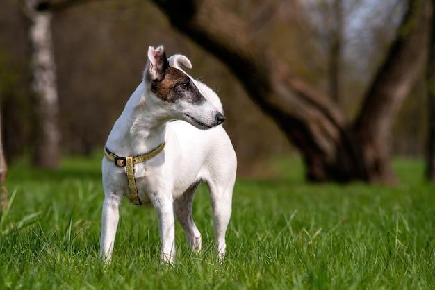 Собака породы гладкий фокстерьер на фоне зеленого парка летом или весной.