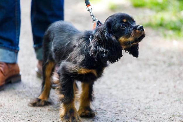 犬種のスパニエルはひもにつないで歩きます。高品質の写真