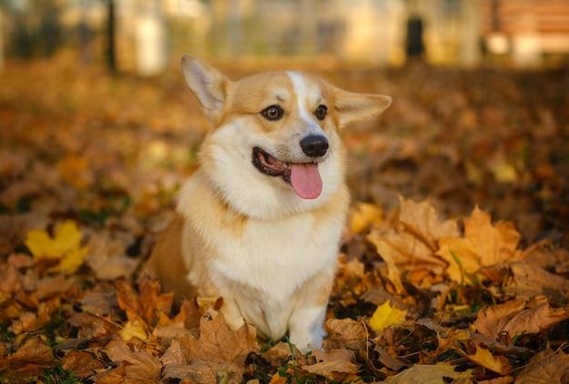 Собака породы вельш-корги пемброк на прогулке в осеннем парке с ярко-желтой листвой