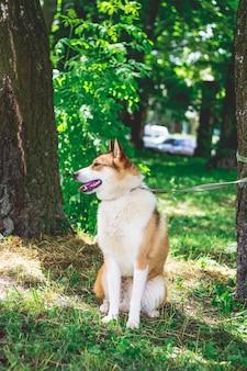 Собака породы западно-сибирская лайка на поводке в парке среди деревьев