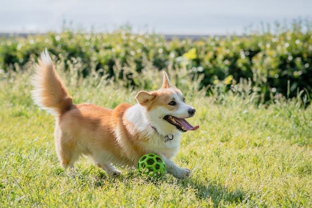 강아지는 공을 가지고 오후에 잔디밭을 걷는 코기를 사육합니다.