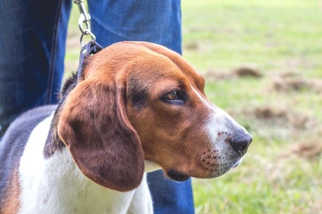 犬はマスターの足元でエストニアの猟犬を繁殖させます、クローズアップの肖像画_