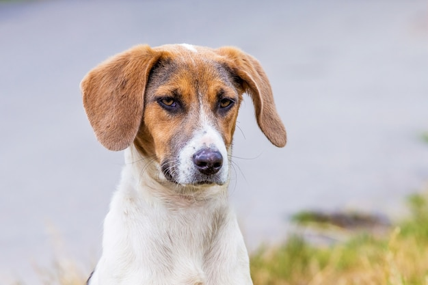 Dog of breeds an estonian hound