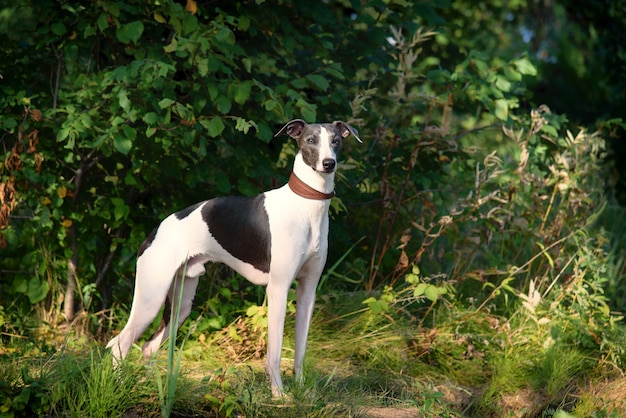 Dog breeds whippet, greyhound hunting dogs