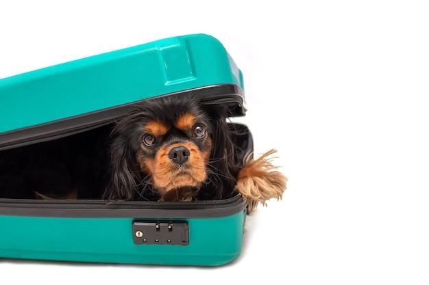 犬のキャバリアキングチャールズスパニエルはスーツケースの中にあります