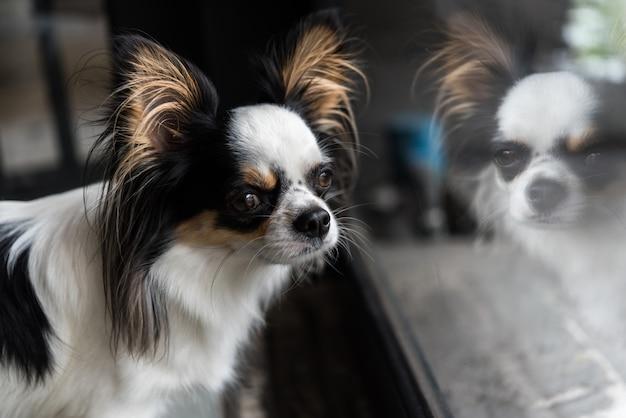 Dog chihuahua breed looking at something