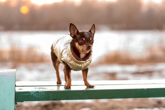 개 치와와. 개 산책 개를위한 따뜻한 옷. 벤치에 옷에 치와와 강아지