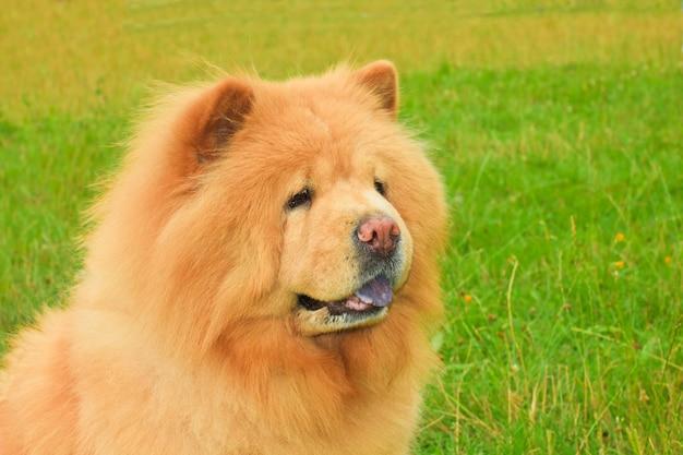 犬のチャウチャウの品種