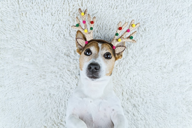 Dog in christmas gold deer horns on white carpet