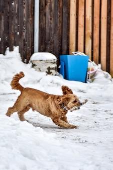 Собака кокер-спаниель в зимнем парке