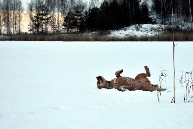Собака кокер-спаниель лежит в снегу