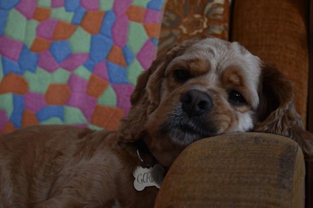 Собака кокер-спаниель на диване у себя дома