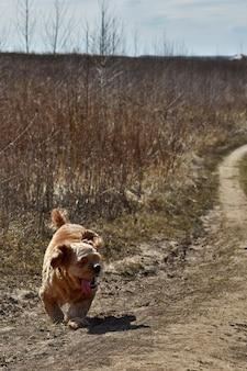 Собака-кокер-спаниель бежит по полю