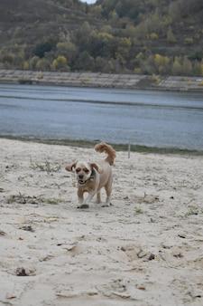 犬のコッカースパニエルはビーチに沿って走る