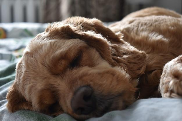 개 코커 스패니얼은 침대에서 잔다 프리미엄 사진