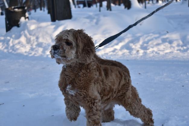 Собака кокер-спаниель гуляет по снегу
