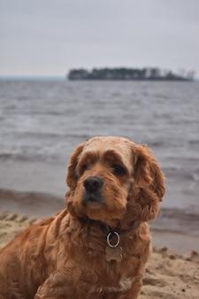 Собака кокер-спаниель гуляет по берегу реки