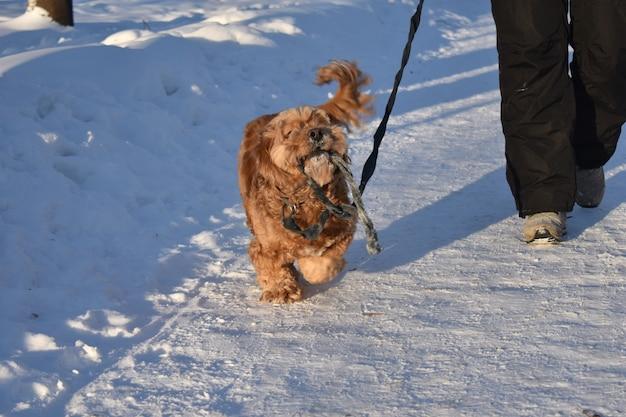 Dog cocker spaniel walks in the snow