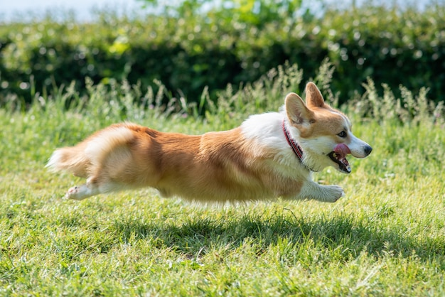 A dog of corgi breeds rushes along the lawn