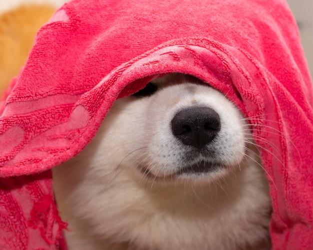 Dog covered with akita inu towel