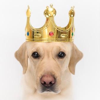 Dog in the crown, like a king. portrait of a close-up of a dog on wihte