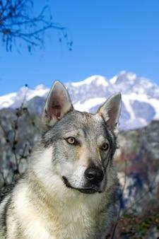 Dog czechoslovakian wolfdog