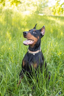 Dog doberman sits in the grass, vertical photo