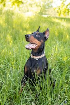 Собака доберман сидит в траве, вертикальное фото