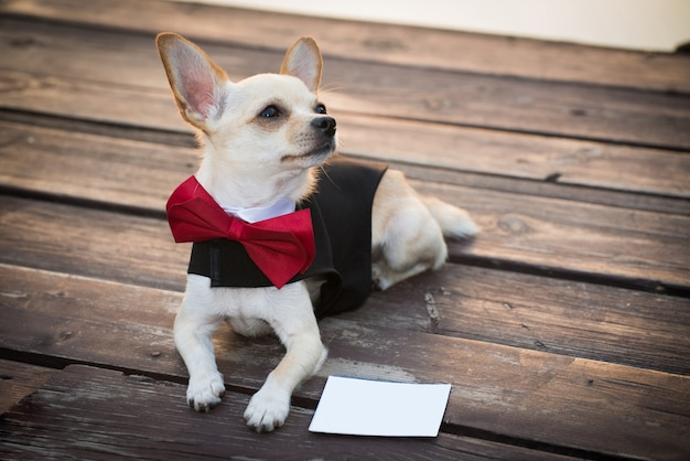 A dog in fashionable clothes.