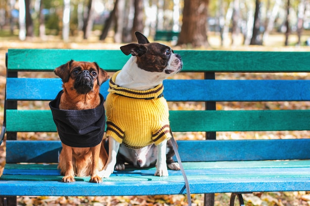 Dog friends sit on a bench in autumn park, boston terrier and sm