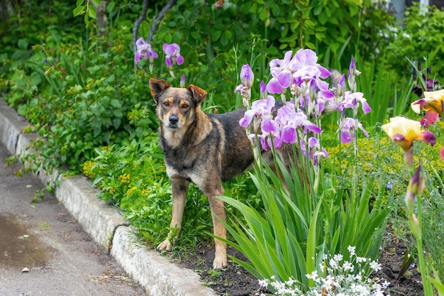 Dog in the garden among blooming irises